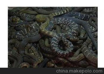 商品信息 基本参数 厂家 : 黄金龙蛇类养殖公司 品种 : 大王