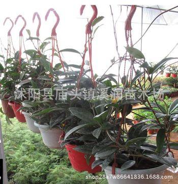 球兰批发盆栽花卉庭院阳台爬藤植物观花造型大叶球兰桌面多肉绿植