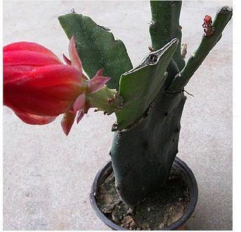 多肉植物 绿化苗木 迷你盆栽 仙人花卉 嫁接令箭荷花