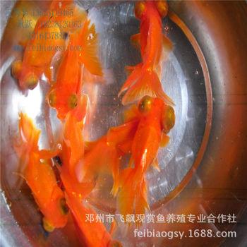 观赏鱼 金鱼活体清仓中型鹤顶红2015量大狮子河南狮子头量大从优