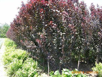 专业供应园林植物乔木 净化空气美观风景树 道路两边防护树