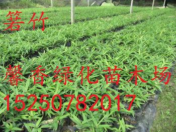 �9��od9f�yg,9f_别名米箬竹,簅叶,粽巴叶,若竹,箬叶竹,檐竹,为禾本科竹类植物.