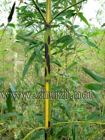 种 名: 黄槽斑竹 别 名: 贵妃竹 拉丁