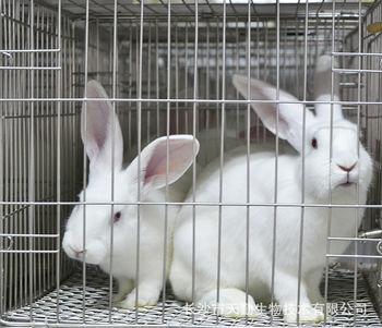【天勤生物】常年供应实验动物 新西兰兔种兔 实验兔实验