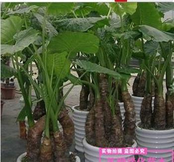盆栽绿植滴水观音室内净化空气海芋
